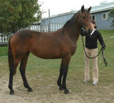 Friesian Oldenburg-Filly-Bay