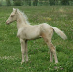 Friesian Saddlebred Pony-Colt-Homozygous Champagne and Red A/a