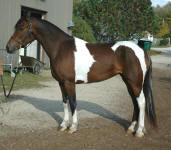 Friesian Paint-Mare-Black Tobiano