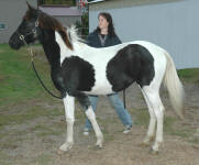 Friesian Paint-Filly-Black Tobiano